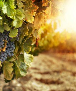 Produzione vinicola